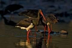 Cigüeña negra en el pantano del Rosarito