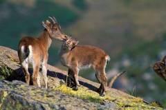 Ternura entre cabras montenses
