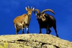 Cabras montenses