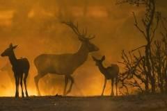 Ciervos en la dehesa