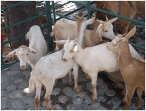 feria de ganado candeleda