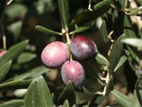 aceite de oliva candeleda